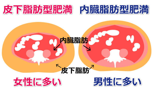 皮下脂肪と内臓脂肪の違い